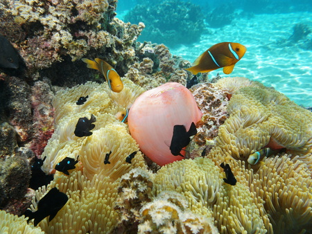 anemonefish: Sea anemones with tropical fish orange-fin anemonefish and damselfish, underwater in the lagoon of Moorea, Pacific ocean, French Polynesia Stock Photo