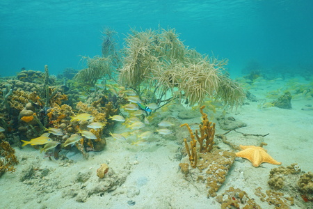 reef fish: Underwater marine life composed by corals, reef fish, sponges and a starfish on a shallow seabed of the Caribbean sea