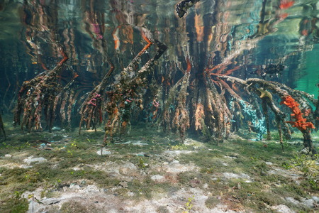 shallow water: Roots of mangrove in shallow water reflected below water surface, natural scene, Caribbean sea