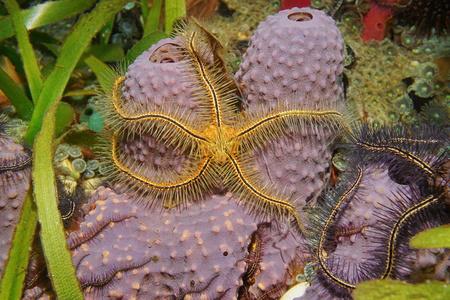 Marine life, a Suenson's brittle star, Ophiothrix suensoni on a branching tube sponge, Aiolochroia crassa, Caribbean sea