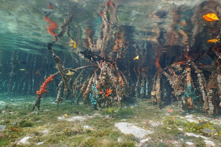 Underwater roots of mangrove tree partially covered by marine life, Caribbean sea, Panama, Central America Stock Photo