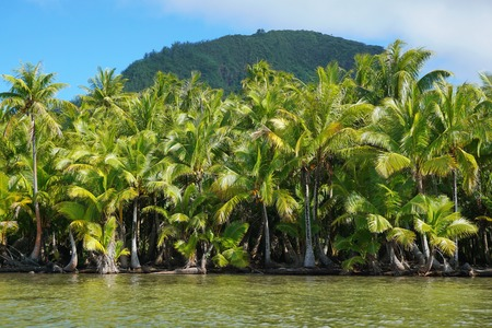 forest trees: Lush coconut trees on the shore of the lake Fauna Nui, Maeva, Huahine island, French Polynesia Stock Photo