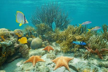 fondali marini: barriera corallina subacquea con stelle marine e pesci tropicali, Mar dei Caraibi