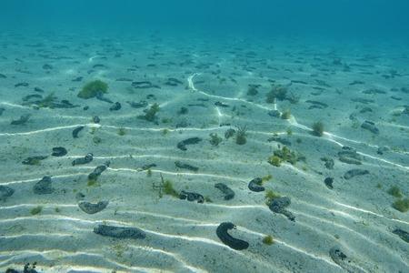 ocean floor: Shallow sandy ocean floor with many black sea cucumbers, Holothuria atra, Pacific ocean, French polynesia
