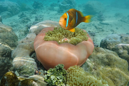 pink anemonefish: A tropical fish orange-fin anemonefish and a Magnificent sea anemone, Pacific ocean, French Polynesia