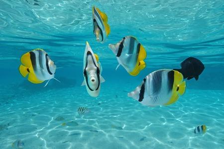 Tropische Fische im Pazifischen Ozean Doppelsattel Falter, unter Wasser in der Lagune, Pazifik, Französisch-Polynesien