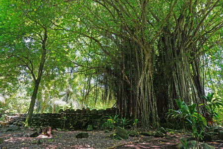 banyan tree: Large Banyan tree at the site of an ancient marae (sacred place), Maeva, Huahine island, French Polynesia