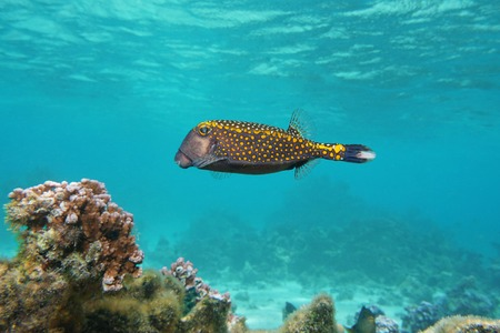 boxfish: Tropical fish, a male white-spotted boxfish, Ostracion meleagris, Pacific ocean, underwater in the lagoon of Huahine island, French Polynesia