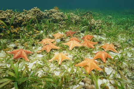 cushion sea star: Starfishes underwater, Cushion sea star, Oreaster reticulatus, on the seabed with turtlegrass and coral, Caribbean sea