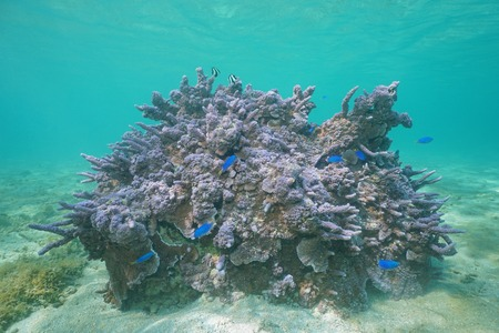 damsel: Purple Montipora coral underwater with damselfish, Pacific ocean, lagoon of Huahine island, French Polynesia