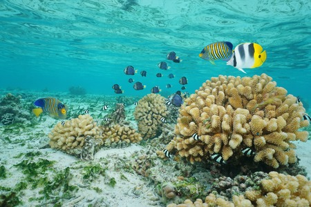 polynesia: Tropical fish and cauliflower coral in shallow water, Moorea lagoon, Pacific ocean, French Polynesia