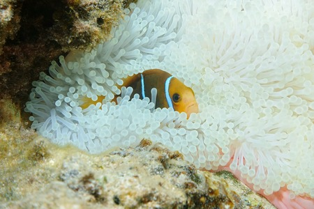 amphiprion: A tropical fish orange-fin anemonefish, Amphiprion chrysopterus, hiding in anemone tentacles, Pacific ocean, French Polynesia