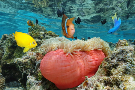 sea anemone: Colorful tropical fish with a Magnificent sea anemone in shallow water, Bora Bora, Pacific ocean, French Polynesia