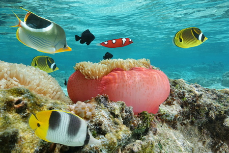 colorful fishes: Colorful fishes with a sea anemone underwater in the lagoon, Pacific ocean, French Polynesia Stock Photo