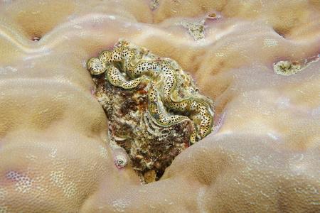 live coral: A marine bivalve mollusk maxima clam, Tridacna maxima, encrusted in coral, Pacific ocean, Tahiti, French polynesia