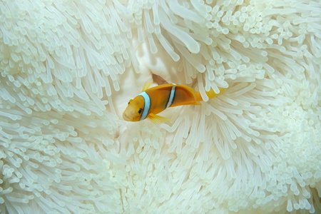 symbiotic: A juvenile tropical fish orange-fin anemonefish, Amphiprion chrysopterus, in anemone tentacles, Pacific ocean, French Polynesia Stock Photo