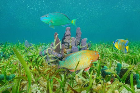 colorful fish: Underwater marine life on a grassy seabed with sea sponges and colorful tropical fish, Caribbean sea