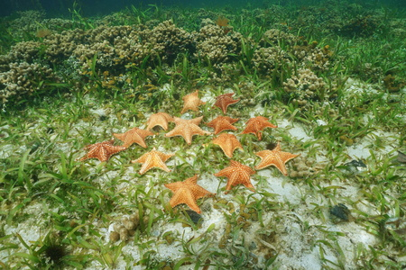 Cluster of starfish under the water, Cushion sea star, Oreaster reticulatus, on seabed with turtlegrass and coral, Caribbean sea Stock Photo