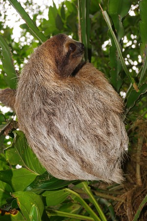 toed: Bradypus variegatus, three-toed sloth wild animal in the jungle of Costa Rica, Central America