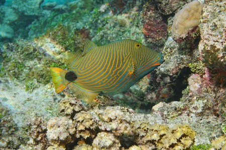 triggerfish: Colorful tropical fish orange-lined triggerfish, Balistapus undulatus, Pacific ocean, underwater in the lagoon of Huahine island, French Polynesia Stock Photo