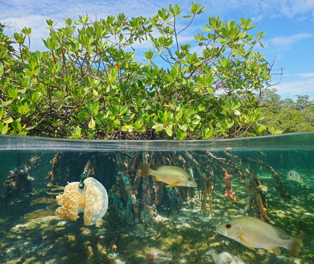 half fish: Mangrove above and below water surface, half and half, with fish and a jellyfish underwater, Caribbean sea