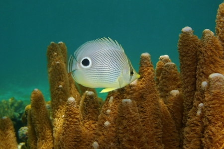 chaetodon: Tropical fish, a foureye butterflyfish, Chaetodon capistratus, underwater in the Caribbean sea