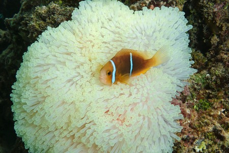 symbiotic: A tropical fish orange-fin anemonefish, Amphiprion chrysopterus, on sea anemone tentacles, Maupiti island, Pacific ocean, French Polynesia