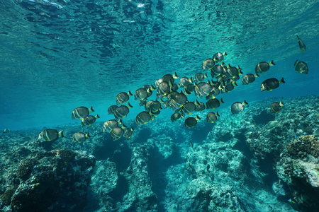 surgeonfish: A school of fish whitespotted surgeonfish, Acanthurus guttatus, on the fore reef of Huahine island, Pacific ocean, French Polynesia Stock Photo
