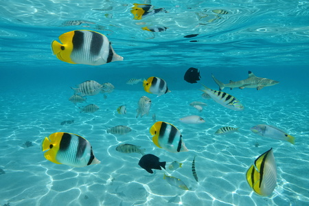 Shoal of tropical fishes in shallow water between sandy seabed and water surface, Pacific ocean, French Polynesia