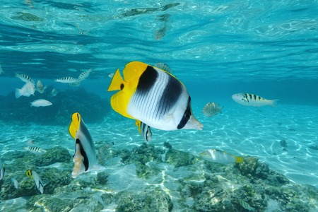 moorea: Tropical fish, Pacific double-saddle butterflyfish, Chaetodon ulietensis, underwater in the lagoon of Moorea, Pacific ocean, French Polynesia Stock Photo