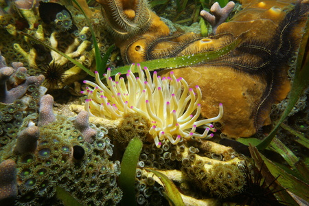 inshore: A giant Caribbean sea anemone, Condylactis gigantea, with underwater marine life on a shallow inshore reef, Panama, Central America Stock Photo