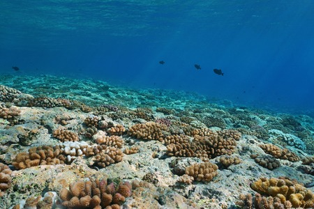 Underwater landscape on the ocean floor, corals on the upper fore-reef slope of Huahine island, Pacific ocean, French Polynesia