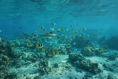 chaetodon: School of tropical fish Pacific double-saddle butterflyfish with a blacktip reef shark on a shallow coral reef in the lagoon, Pacific ocean, French Polynesia