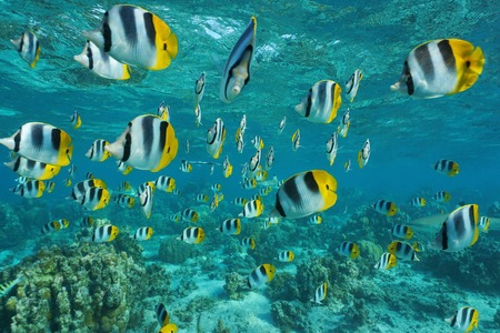 chaetodon: Shoal of tropical fish, Pacific double-saddle butterflyfish, Chaetodon ulietensis, in shallow water of a lagoon, Pacific ocean, French Polynesia