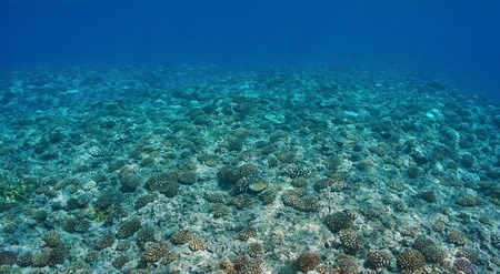 upper floor: Underwater scenery, corals on the ocean floor on the upper fore reef slope, Huahine, Pacific ocean, French Polynesia
