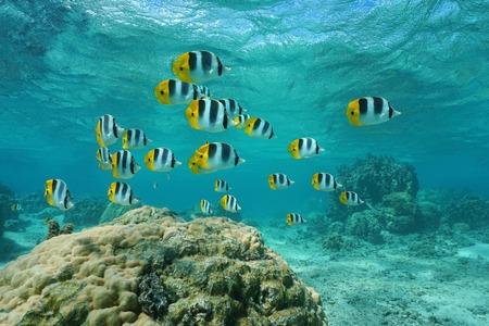 Escuela de peces tropicales del Pacífico mariposa doble silla de montar, Chaetodo ulietensis, bajo el agua en la laguna, el océano Pacífico, Polinesia Francesa