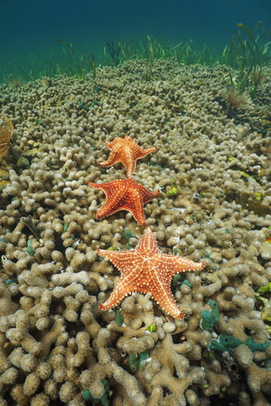 Three Cushion sea stars underwater sea on finger coral, Caribbean