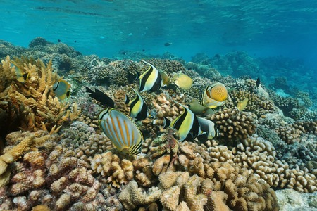 zanclus cornutus: Colorful coral reef fish underwater sea, Rangiroa lagoon, Pacific ocean, French Polynesia Stock Photo