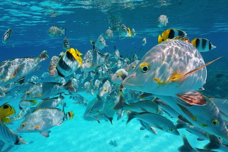 Shoal of tropical fish, mostly humpback red snapper with some butterflyfish and damselfish, underwater close to the surface and the camera, lagoon of Rangiroa, Pacific ocean, French Polynesia Stock Photo