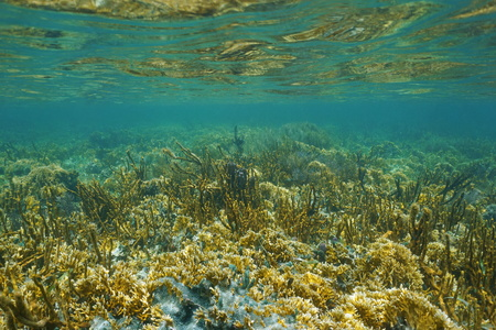 Lush coral reef under water on a shallow seabed in the Caribbean sea, Panama, Central America
