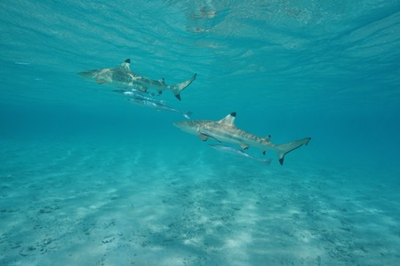 Two blacktip reef sharks with remoras fish underwater in the lagoon of Tikehau, Tuamotu, south Pacific ocean, French Polynesia Stock Photo
