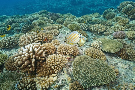 chaetodon: Underwater corals with ornate butterflyfish on the ocean floor, upper reef slope of Bora Bora island, south Pacific ocean, French Polynesia Stock Photo