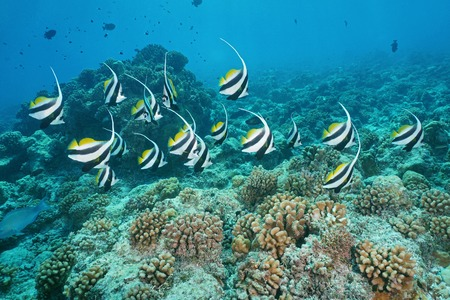 south pacific ocean: Tropical fish pennant coralfish, Heniochus acuminatus, underwater on the outer coral reef, atoll of Tikehau, south Pacific ocean, Tuamotu, French Polynesia
