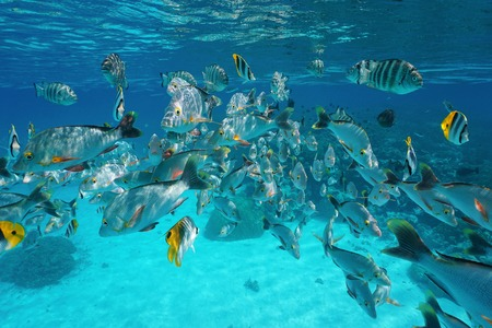 banc de poissons tropicaux (la plupart du temps de vivaneau à bosse rouge) sous-marine près de la surface de l'eau dans le lagon de Rangiroa, océan Pacifique, Polynésie française Banque d'images