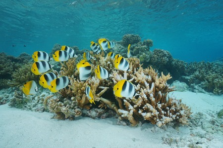 chaetodon: School of tropical fish Pacific double-saddle butterflyfish, Chaetodon ulietensis, underwater in the lagoon of Rangiroa, Tuamotu, Pacific ocean, French Polynesia