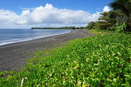 south pacific ocean: Vegetation (Ipomoea pes-caprae) on a black sand beach of Tahiti island near Tautira village, French Polynesia, south Pacific ocean Stock Photo