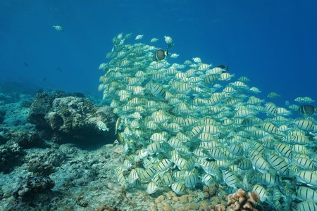 acanthurus: Shoal of tropical fish convict tang, Acanthurus triostegus, underwater Pacific ocean, atoll of Rangiroa, Tuamotu, French Polynesia Stock Photo