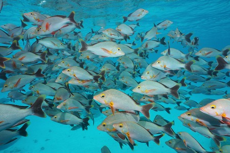 Underwater sea, shoal of fish humpback red snapper, Lutjanus gibbus, Rangiroa, Tuamotu, Pacific ocean, French Polynesia Stock Photo