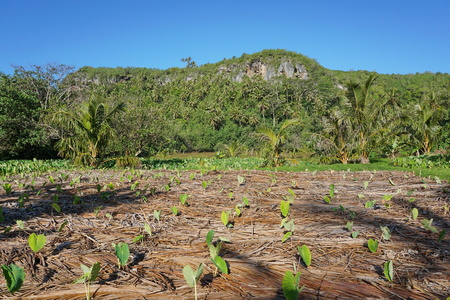 south pacific: Taro plantation with tropical vegetation in background, Rurutu island, south Pacific, Austral archipelago, French Polynesia