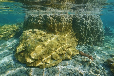 stony corals: Underwater marine life, rice coral and lobe coral in shallow water of the lagoon of Vitaria, Rurutu island, Pacific ocean, Austral archipelago, French Polynesia Stock Photo